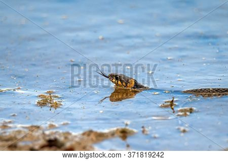 Hunting Grass Snake Swims In Water. Closeup