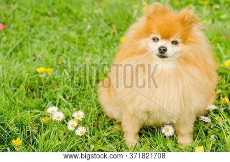 Ginger Pomeranian Puppy On Green Grass. Fluffy Miniature Spitz On Natural Background, Copy Space, Pl