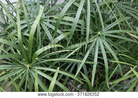 Closeup Fresh Green Leaves Of Cascabela Thevetia, White Oleander, Lucky Nut, Lucky Bean, Trumpet Flo