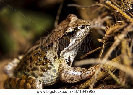Macro Portrait Of An Ordinary Amphibian Frog