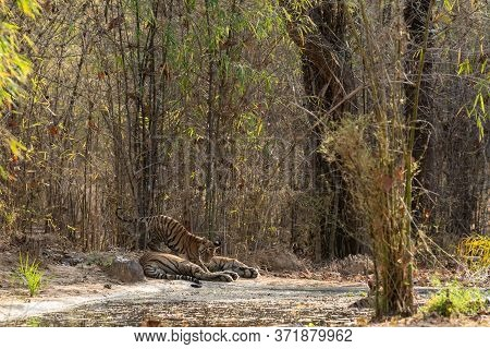 Wildlife Moment During Safari At Bandhavgarh Forest When Wild Male Tiger Or Father Taking Care Of Hi