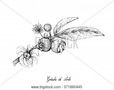 Tropical Fruits, Illustration Of Hand Drawn Sketch Goiaba De Anta, Mess Apple Or Bellucia Grossulari