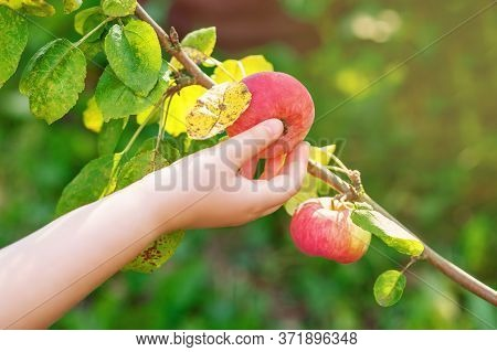 The Childs Hand Picking An Apple Fruit On The Tree In The Garden. Apples Harvesting.