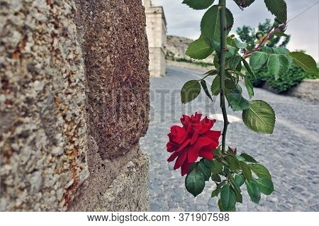 Rose And Stone. A Flexible Spiny Stem With Green Leaves Descends Along A Stone Wall, The Scarlet Ros