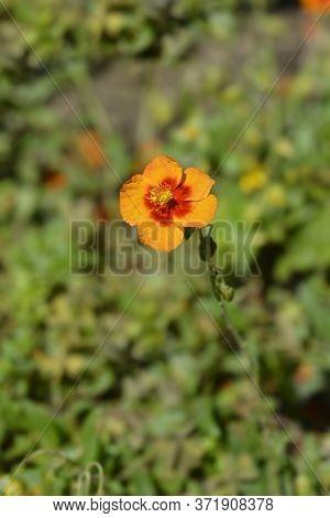 Rockrose Ben Heckla - Latin Name - Helianthemum Ben Heckla