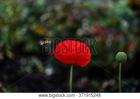 Poppies And Bumblebee. Poppy Flowers In Full Bloom With Bumblebee Approaching.  Flying Bumblebee On