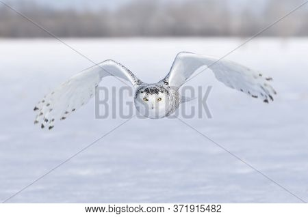 Snowy Owl (bubo Scandiacus) Taking Off In Flight Hunting Over A Snow Covered Field In Ottawa, Canada