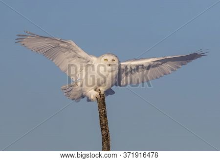 Snowy Owl (bubo Scandiacus) Male Isolated Against A Blue Background Spreads Its Wings On Top Of A Tr
