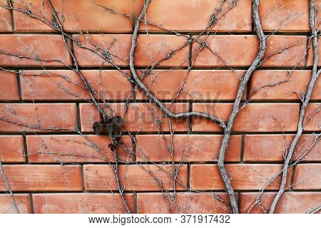 Ivy Grows On A Brick Facade. Red Brick Texture And Ivy Trunk. Red Brick Background For Your Creative