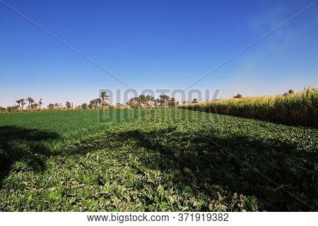 Papyrus Field In El Minya, Egypt