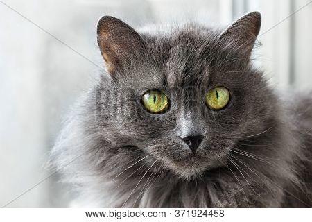 Close Up Portrait Of Beautiful Gray Nebelung Cat.