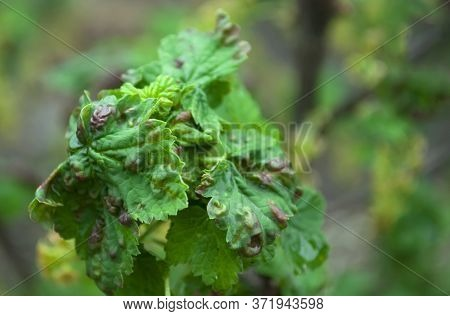 Currant Leaves Twisted And In Red Blisters, Spots On A Blurred Green Background. Diseases Of Black A