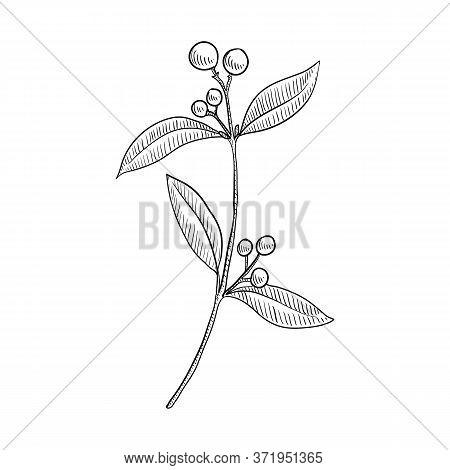 Vector Drawing Indian Sandalwood, Santalum Album , Hand Drawn Illustration Of Medicinal Plant