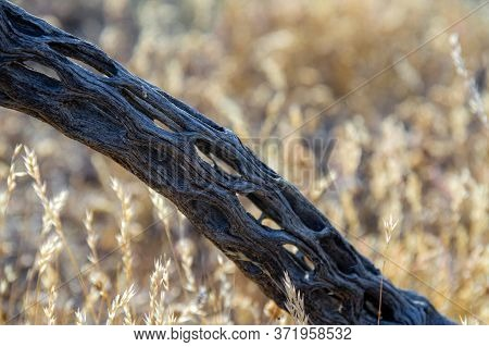 A Detail Of A Cactus Skeleton Lying On The Ground In The Sonoran Desert Of Arizona.