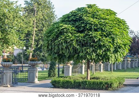 Catalpa With A Beautiful Crown On The Green Grass On In Summer Day