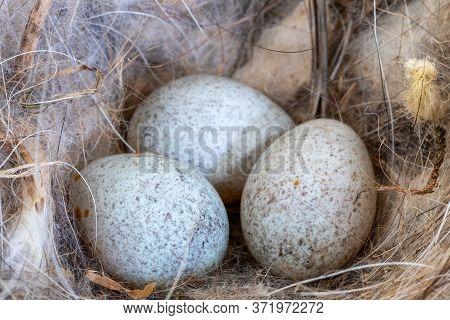 Robin (erithacus Rubecula) Eggs