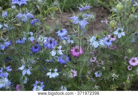 White And Blue Flowers Of Nigella Damascena