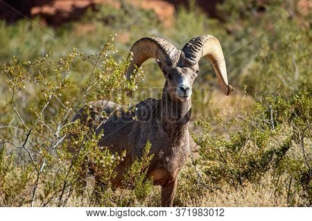 Bighorn sheep among the red rocks of Nevada's Valley of Fire