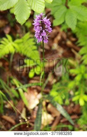 Common Spotted Orchid In Transylvania Romania. Dactylorhiza, Commonly Called Marsh Orchid Or Spotted