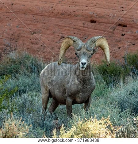Bighorn Sheep Among The Red Rocks Of Nevada\'s Valley Of Fire