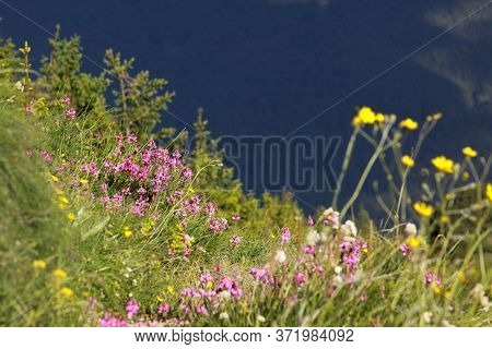 Colorful Endemic Plant Species In June, In The Mountains Of Romania