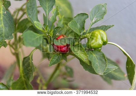 Dwarf Peppers Or Mini Red Peppers Are A Type Of Sweet Pepper, Less Acidic And Therefore Are Very Pop