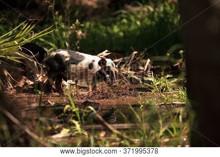 Baby Wild Hog Also Called Feral Hog Or Sus Scrofa Forage For Food