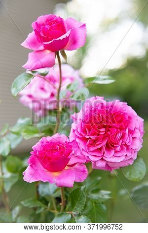 A Close-up Of Pink Roses In A Backyard Garden.
