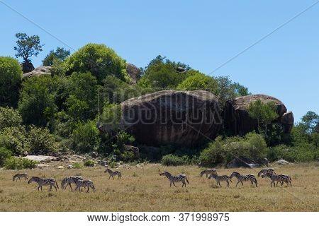 A Herd Of Zebra Walking Near Big Kopjes Eating Grass On A Sunny Blue Sky Day In Serengeti Tanzania