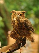 Front view of owl perched on a hand poster