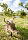Cow in a wonderful Caribbean dream landscape. poster