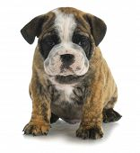 cute puppy - bulldog sitting on white background - 8 weeks old poster