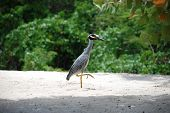 Yellow-crested night heron stalking along a white sand beach in the Caribbean poster