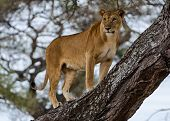 """""""Watchful"""": A female lion standing in the crook of a tree, Tarangire National Park, near Arusha, Tanzania, Africa poster"""