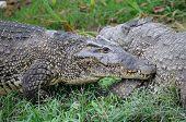 Alligators on natural habitat on Guama Lagoon Cuba poster
