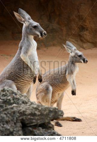 Kangaroo Family1