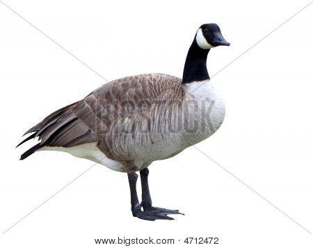 Male Goose