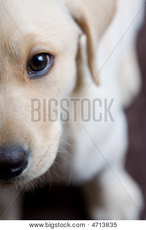 Closeup Of Young Labrador Puppy