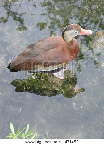 shot from above, this photo is of a distinctive mexican duck. poster