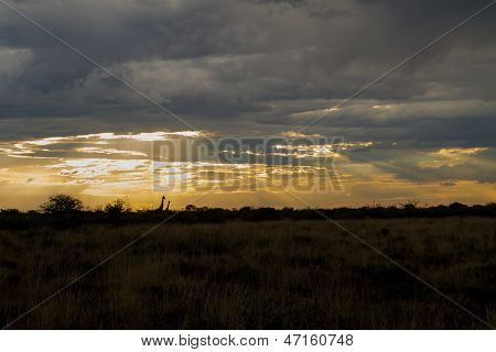 Giraffes taking a stroll in the distance with sun rays shining through the dramatic clouds poster