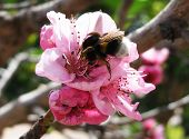 A bee collecting pollen from a pink blossom. poster