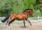 Bay purebred stallion gallops on manege poster