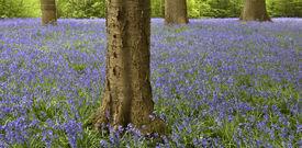 Bluebells In Springtime
