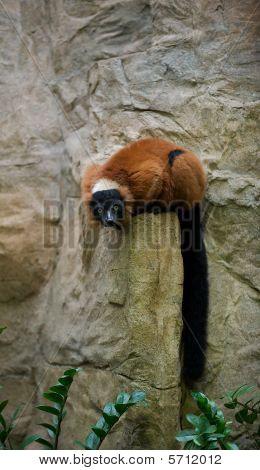 Lemur on a rock.