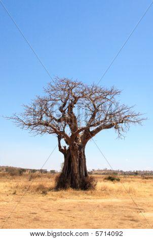 old baobab tree in savannah