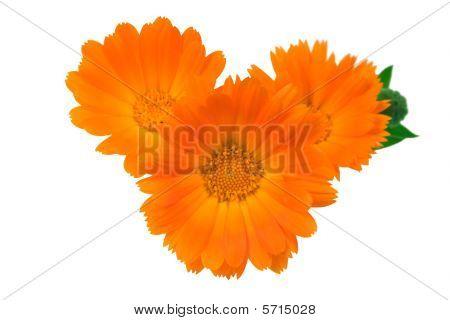 Three Flowers Of A Calendula