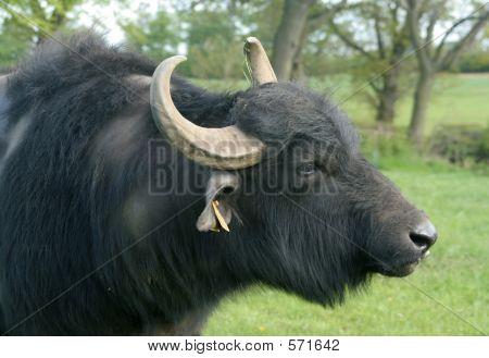 Head Of Buffalo