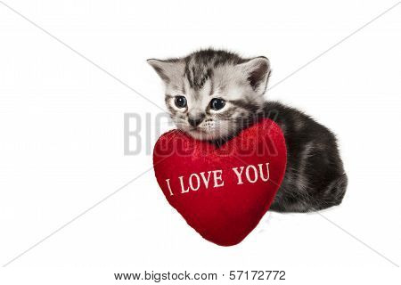 L British Shorthair Kitten With Sign