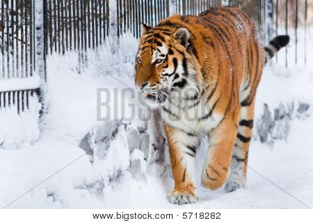 Siberian tiger walking in zoo. Winter time poster