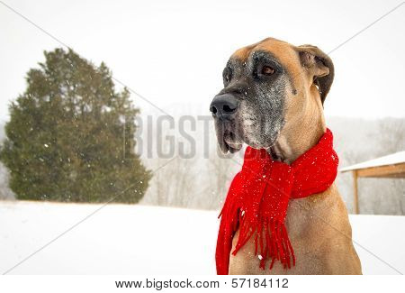Great Dane with red scarf